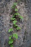 Ivy hedera helix BG stock photos