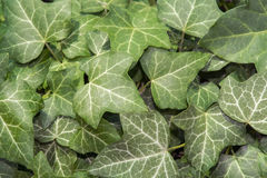Ivy (Hedera helix). European ivy (Hedera helix) leaves as green background stock image