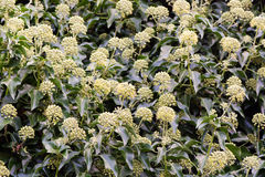 Ivy (Hedera helix) flowers in hedge. Masses of green and yellow flowers on this familiar evergreen climbing shrub, in the family Araliaceae Royalty Free Stock Image