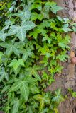 Ivy Hedera helix with green leaves at a tree Stock Photo