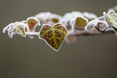 Ivy Hedera helix leaf covered with frost. Leaves on evergreen shrub in the family Araliaceae covered in ice crystals on cold winter morning Royalty Free Stock Image
