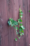 Ivy (Hedera helix) Stock Photography