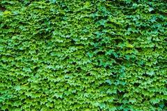 Ivy Hedera Mur couvert de feuillage Fond vert normal photographie stock libre de droits