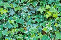 Ivy Hedera Vägg som täckas med lövverk grönt naturligt för bakgrund fotografering för bildbyråer