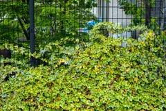 Ivy Hedera Vägg som täckas med lövverk grönt naturligt för bakgrund royaltyfria bilder