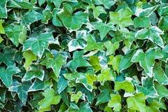Ivy Hedera Vägg som täckas med lövverk grönt naturligt för bakgrund arkivfoto