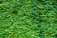 Ivy Hedera. Wall covered with foliage. Natural green background. royalty free stock photography