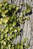 Ivy horizontal Stock Photography