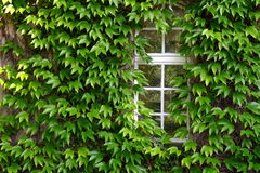 Ivy on the house Royalty Free Stock Photos