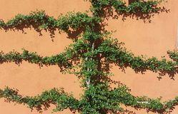 Ivy Hugs verde la pared foto de archivo