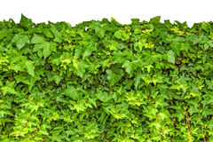 Ivy isolated Royalty Free Stock Photo