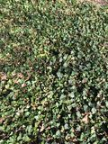 Ivy. Layer of green ivy Royalty Free Stock Photo
