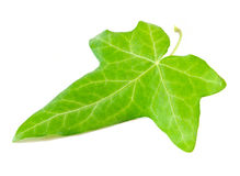 Ivy leaf Royalty Free Stock Photography