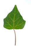 Ivy Leaf Stock Afbeeldingen