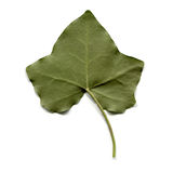 Ivy Leaf Royalty-vrije Stock Afbeelding
