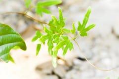 Ivy Leaf Royalty-vrije Stock Foto