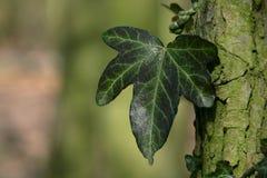 Ivy leaf. A dark green ivy leaf in closeup Stock Image
