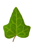 Ivy leaf. Close up of hedera helix leaf isolated Stock Images
