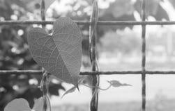 Ivy Leaf stockbild
