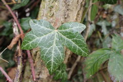 Ivy Leaf Imagen de archivo