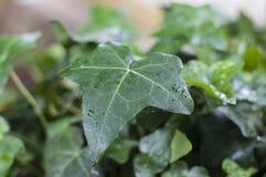Ivy Leaf royaltyfria foton