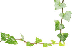 Ivy leaf frame. Frame made of fresh ivy leaves with white copy space Stock Images