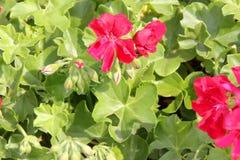 Ivy Leaf Geranium vermelha, vermelho do peltatum do Pelargonium fotografia de stock royalty free
