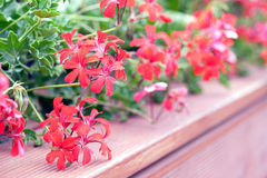 Ivy-leaf geraniums on the terrace Stock Images