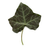 Ivy leaf Stock Image