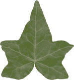 A ivy leaf isolated. Royalty Free Stock Photography