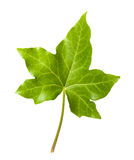 Ivy leaf Stock Photos
