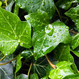 Ivy leaf with rain drops Stock Photo