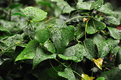 Ivy leaf with raindrops Royalty Free Stock Photo