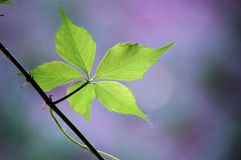 An ivy Leaf in summer, close up. An ivy leaf in summer, shot against sunlight stock photography