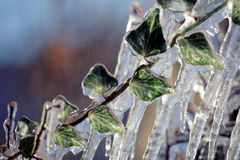Ivy leaf trapped in ice Stock Image