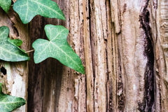 An Ivy leaf with a tree trunk in background. An Ivy leaf with a wood in background royalty free stock images
