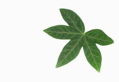 ivy leaf on white background Royalty Free Stock Photos