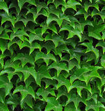 Ivy leafs. Green ivy leafs as decoration of the house Stock Photo
