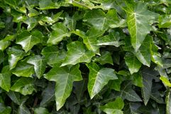 Ivy leafs. Close up shot of Ivy leafs Royalty Free Stock Photos
