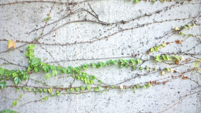 Ivy leafs on a concrete wall background Royalty Free Stock Image