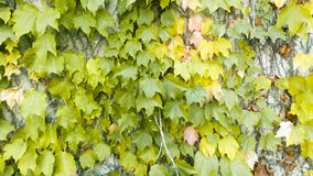 Ivy leafs Royalty Free Stock Photography