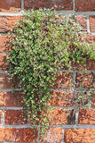 Ivy-leaved toadflax on a brick-wall, Cymbalaria muralis Stock Photo