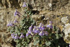 Ivy-Leaved Toadflax - Cymbalaria muralis Royalty Free Stock Image