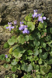 Ivy-Leaved Toadflax Royalty Free Stock Photos