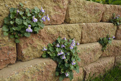 Ivy-Leaved Toadflax. Cymbalaria muralis Stock Photos