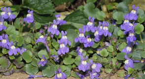 Ivy-Leaved Toadflax Royalty Free Stock Images
