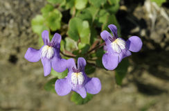 Ivy-Leaved Toadflax Royalty Free Stock Photo