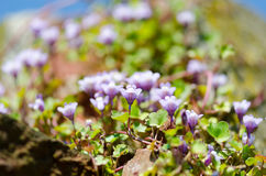 Ivy-leaved Toadflax Stock Photography