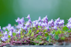 Ivy-leaved Toadflax Royalty Free Stock Photography