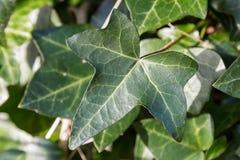 Ivy Leaves Imágenes de archivo libres de regalías